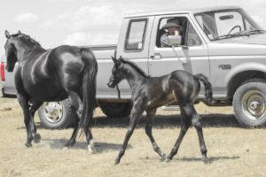 Cow-run cross barrel racing prospect for sale.